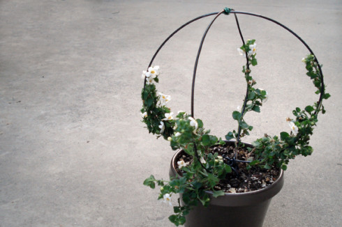DIY Live Ivy Topiary - All Things Heart and Home